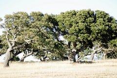 Quercus suber stock photography