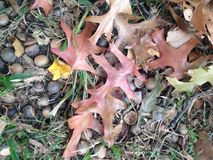 Quercus Tree Leaves and Acorns on the Ground in the Fall. Royalty Free Stock Photography