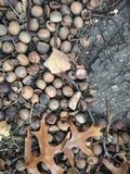Quercus Tree Leaves and Acorns on the Ground in the Fall. Royalty Free Stock Photos