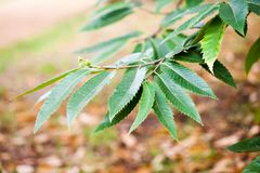 Quercus turner Turner s oak. Tree and details Stock Photo