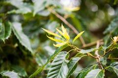 Quercus variabilis oriental cork oak Stock Image