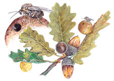 Quercusfolii Cynips Στοκ Εικόνα