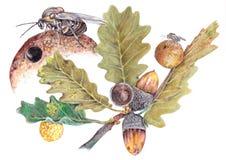 Quercusfolii del Cynips Imagen de archivo