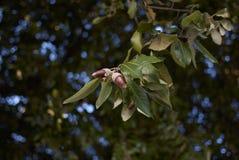 Quercusilexfilial arkivbild