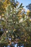 Quercusilexfilial royaltyfria foton