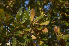 Quercusilexfilial arkivbilder