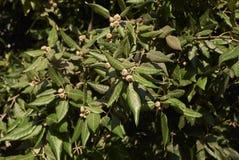 Quercusilexfilial med nya ekollonar royaltyfria bilder