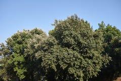 Quercusilexträd arkivbild