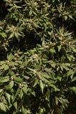Quercusilexträd arkivfoto