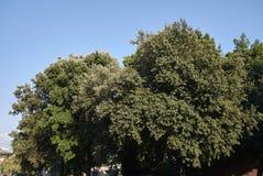 Quercusilexträd royaltyfria foton