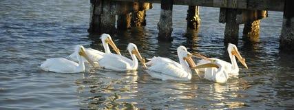 Querelle de pélicans blancs Image stock