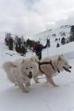 QuerfeldeinSkifahrer und zwei Samoyedhunde stockfotos
