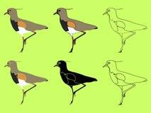 Quero Quero fågel eller Vanelluschilensisart royaltyfri illustrationer