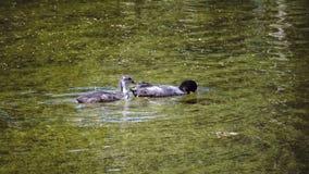 Querquedula шпателя garganey малый плещась поплавок утки в воде и пикировании в солнечный день акции видеоматериалы