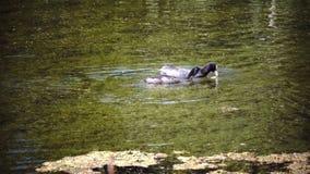 Querquedula шпателя garganey малый плещась поплавок утки в воде и пикировании в солнечный день видеоматериал