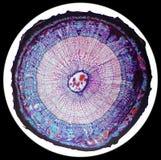 Querschnitt der waldigen Anlage des Stammes unter dem Mikroskop Stockfotos