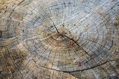 Querschnitt des alten Baum-Stammes, der Wachstumsringe und -käfer zeigt Stockfotografie