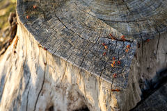 Querschnitt des alten Baum-Stammes, der Wachstumsringe und -käfer zeigt Stockbilder