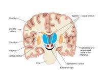 Querschnitt des Gehirns, das Kerne zeigt Stockbilder