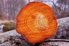 Querschnitt des geschnittenen Baums. Stockbild