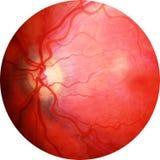 Querschnitt des menschlichen Auges Stockbild