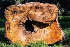 Querschnitt durch einen Eukalyptusbaum, Kalifornien; Eukalyptusbäume sind gebürtig von Australien und in anderen Teilen von Invas lizenzfreie stockfotografie