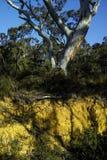 Querschnitt einer Schicht Bodens unter Unterholz und einem Eucal lizenzfreies stockfoto