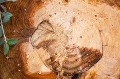 Querschnitt eines Baum-Stammes Lizenzfreie Stockbilder