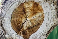Querschnitt eines Baums Stockfotografie