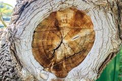 Querschnitt eines Baums Stockfoto