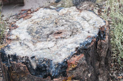Querschnitt-versteinertes Holz Stockfotos