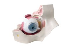 Querschnittbaumuster des menschlichen Auges Stockfotos