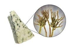 Queso del Roquefort y roqueforti del penicillium de los hongos, usado en su producci?n foto de archivo libre de regalías