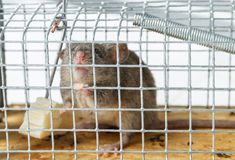 Queso libre en una ratonera Fotografía de archivo libre de regalías