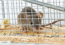 Queso libre en una ratonera Foto de archivo libre de regalías