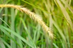 Questa erba luminosa e potente al tramonto è una vista calda e felice con emozione e l'intensità La forza vitale in questa immagi Immagini Stock