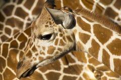 Questa giraffa del bambino sta la spalla alta contro di lei Immagine Stock Libera da Diritti