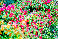 Questa immagine è circa il fondo del fiore, Tailandia Fotografie Stock Libere da Diritti