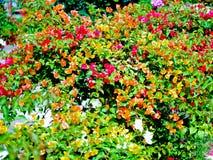 Questa immagine è circa il fondo del fiore, Tailandia Fotografia Stock Libera da Diritti