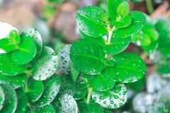 Questa pianta fertile della giungla con le goccioline di acqua è un piccolo pezzo piacevole della destra della foresta pluviale q Immagini Stock
