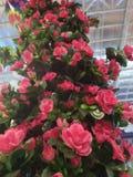 Questa pianta rosa è alta e fiorire è molto adatta a decorazione domestica fotografia stock libera da diritti