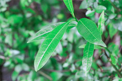 Questa pianta tossica e tropicale della giungla è una foglia da cui ll del ` volete restare a partire quando nell'aria aperta Pia Fotografie Stock Libere da Diritti