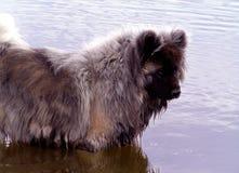 Questa razza odia l'acqua (esperti). Fotografie Stock