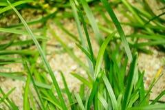 Questa scena serena dell'erba con i ciottoli circostanti è elevarsi e un simbolo positivo per pace e vita La madre natura è una m Fotografie Stock Libere da Diritti