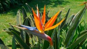 Questi fiori sono molto timidi, essi sono raramente come questo fotografia stock