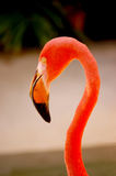 Question mark. Caribbean (American) flamingo (Phoenicopterus ruber) head and neck forming a question mark Stock Images