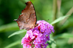 Question Mark Butterfly Royalty Free Stock Image