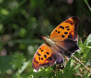 Question Mark Butterfly Dorsal View Royalty Free Stock Photography