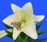 Question Mark butterfly at an Easter Lily Royalty Free Stock Photo