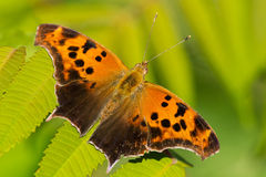 Question Mark Butterfly Royalty Free Stock Photos